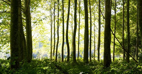 Boreal Forest「Trees」:スマホ壁紙(5)