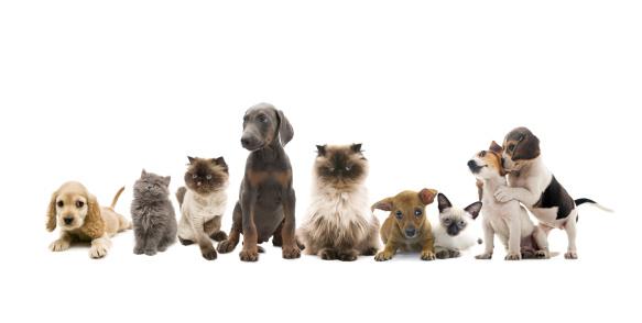 ペルシャネコ「ペットのグループのポートレート」:スマホ壁紙(1)