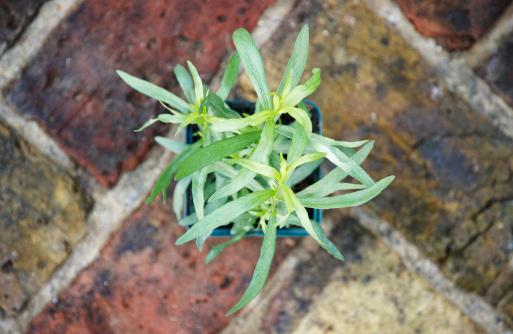 Tarragon「French tarragon (Artemisia dracunculus), overhead」:スマホ壁紙(1)