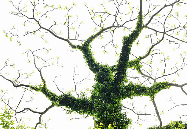 A tree covered with ivy:スマホ壁紙(壁紙.com)