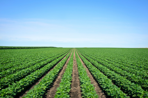 Crop - Plant「Rows of Iowa soybeans」:スマホ壁紙(3)