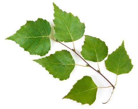 Birch Tree「Birch leaves on a stem on a white background」:スマホ壁紙(9)