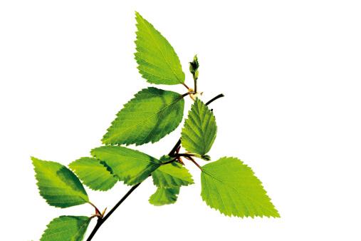 Birch Tree「Birch leaves, close-up」:スマホ壁紙(10)