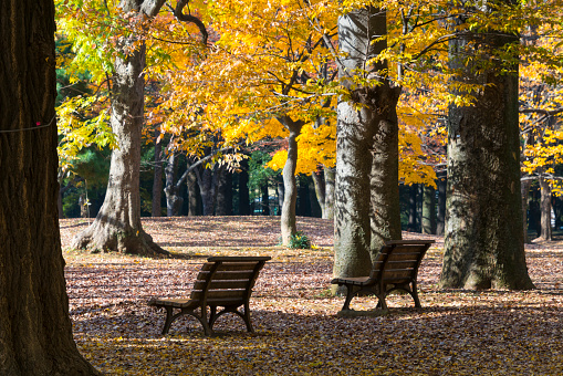 Treelined「Park benches among the autumn leaves trees on the fallen leaves at Yoyogi Park Shibuya Tokyo Japan on November 29 2017.」:スマホ壁紙(4)