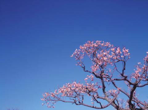 梅の花「Ume」:スマホ壁紙(17)