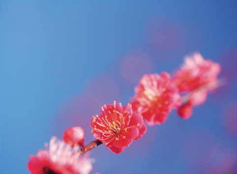梅の花「Ume」:スマホ壁紙(16)