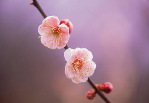 梅の花「Ume」:スマホ壁紙(15)