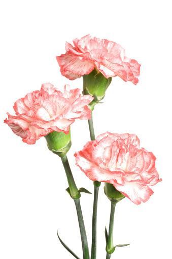 Carnation - Flower「Carnations.」:スマホ壁紙(15)