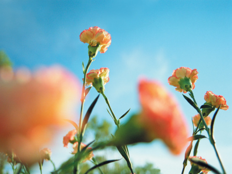 カーネーション「Carnations」:スマホ壁紙(17)