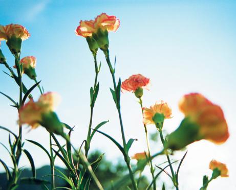カーネーション「Carnations」:スマホ壁紙(15)