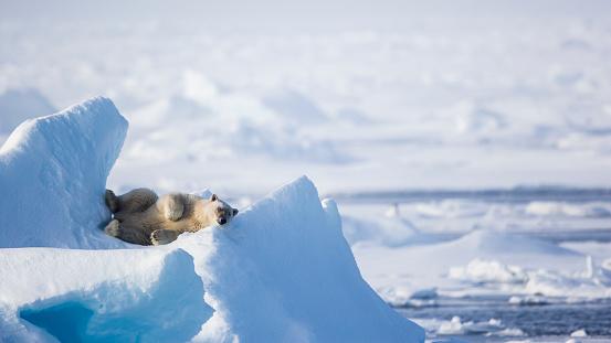 Svalbard Islands「resting on an ice promontory, Ursus Maritimus, Spitzbergen, Svalbard」:スマホ壁紙(16)