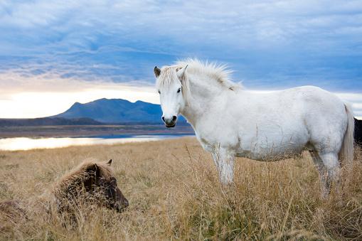 Horse「Two Icelandic horses resting in foxtail field, Hvitserkur, Iceland」:スマホ壁紙(6)