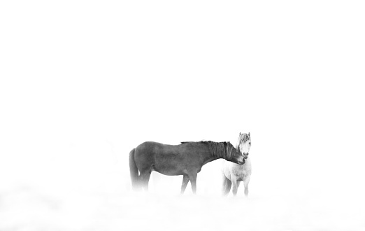 Horse「Two icelandic horses, Iceland」:スマホ壁紙(16)