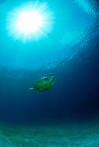 Green Turtle「Philippines, green sea turtle」:スマホ壁紙(9)