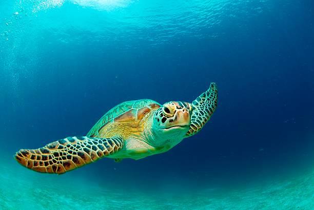 Philippines, green sea turtle (Chelonia mydas) swimming:スマホ壁紙(壁紙.com)