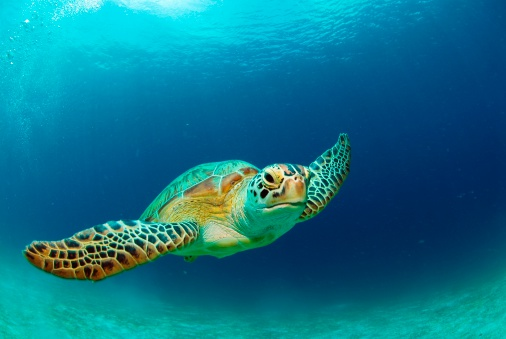 Sea Turtle「Philippines, green sea turtle (Chelonia mydas) swimming」:スマホ壁紙(4)