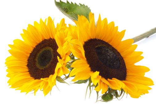ひまわり「sun flowers」:スマホ壁紙(12)