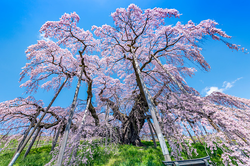 サクラの木「Famous cherry tree that Miharu Takizakura in Fukusima」:スマホ壁紙(0)
