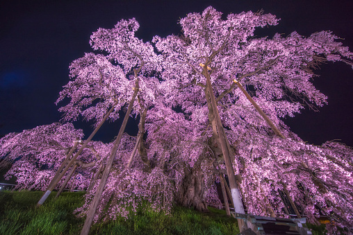 夜桜「Famous cherry tree that Miharu Takizakura in Fukusima」:スマホ壁紙(4)