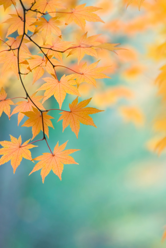 Japanese Maple「Beautiful Japanese Maple leaves - IX」:スマホ壁紙(0)