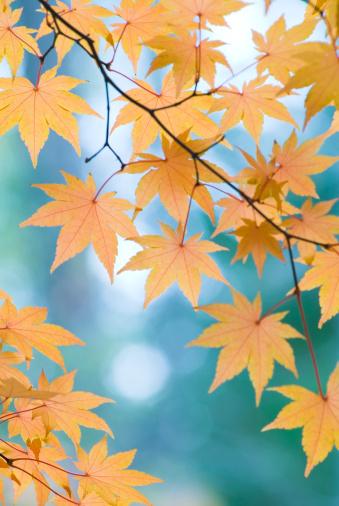 Japanese Maple「Beautiful Japanese Maple leaves - I」:スマホ壁紙(16)