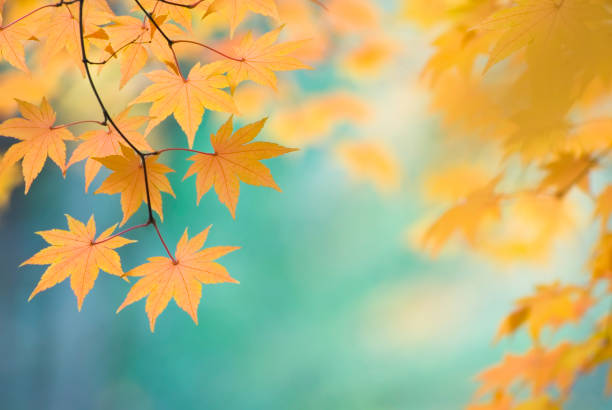 Beautiful Japanese Maple leaves - X:スマホ壁紙(壁紙.com)