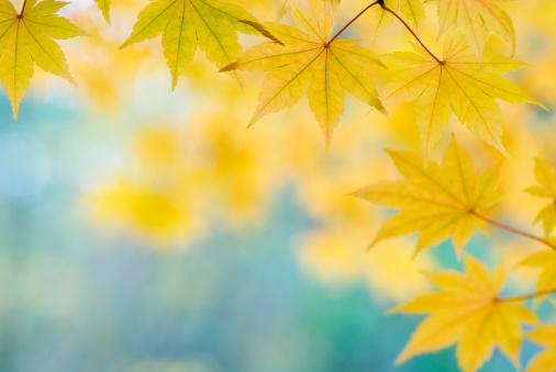 紅葉「美しいイロハモミジリーブズ-XII」:スマホ壁紙(10)