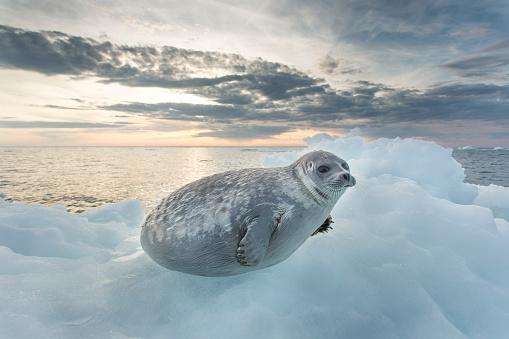 Nunavut「Ringed Seal Pup on Iceberg, Nunavut Territory, Canada」:スマホ壁紙(12)