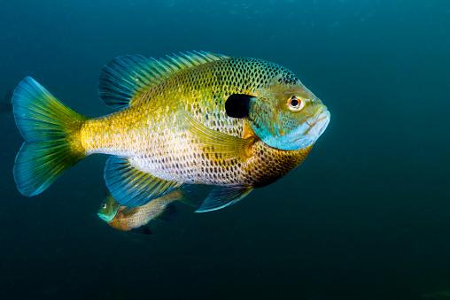 カメラ目線「Bluegill sunfish school in Lake Phoenix, Virginia.」:スマホ壁紙(13)