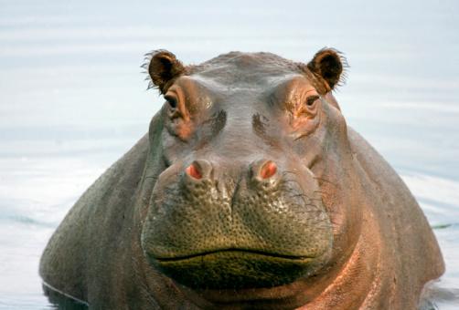 Hippopotamus「Fat Hippo」:スマホ壁紙(5)