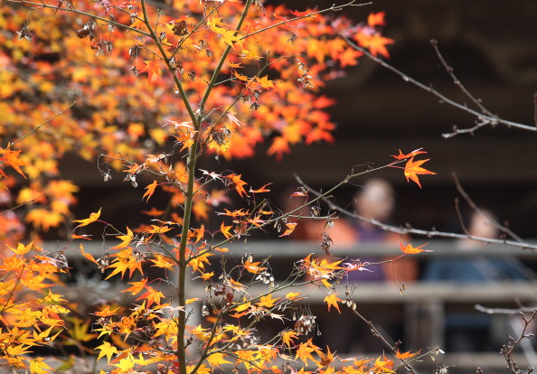 Japanese Maple「Shoshazan Engyoji Temple In Autumn Colors」:写真・画像(15)[壁紙.com]