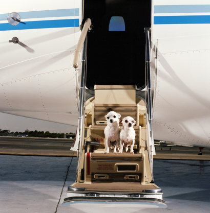 Leaving「Two White Smooth-coat Chihuahuas, sitting on steps of corporate jet」:スマホ壁紙(17)