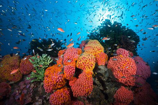 Arafura Sea「Reef of Orange Cup Corals, Indonesia」:スマホ壁紙(10)