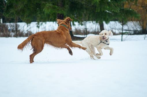 Dog「Dogs Playing in the Snow - Portland, Oregon」:スマホ壁紙(4)