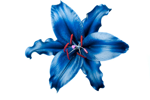 Exoticism「Exotic blue lily on white background」:スマホ壁紙(15)