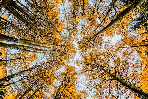アンコンパグレ国有林「Low angle fisheye view upward of aspen trees (Populus Tremuloides) in fall, Uncompahgre National Forest, Colorado, USA」:スマホ壁紙(2)