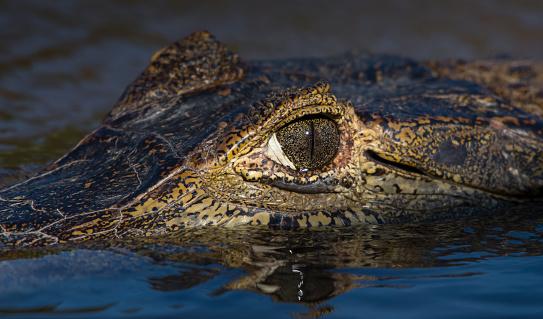 Animals Hunting「Alligator , Brazil」:スマホ壁紙(10)