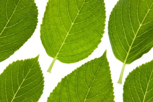 あじさい「Six leaves of a hydrangea」:スマホ壁紙(12)