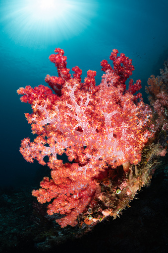Soft Coral「Colorful Soft Coral and Sun」:スマホ壁紙(4)