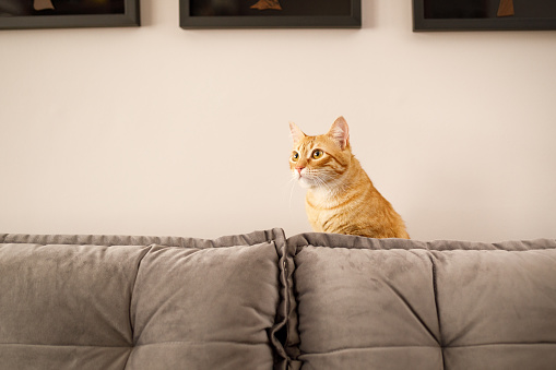Mixed-Breed Cat「Cat hiding on sofa」:スマホ壁紙(3)