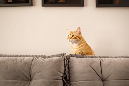 Mixed-Breed Cat「Cat hiding on sofa」:スマホ壁紙(12)