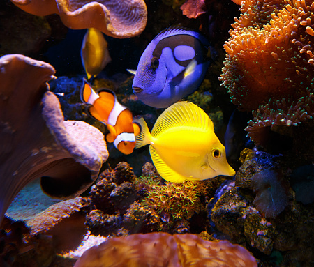 Seaweed「Paracanthurus hepatus and zebrasoma flavescens with Clownfish」:スマホ壁紙(19)