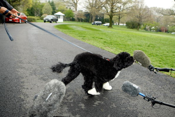 Mike Lawn「The White House Debuts The Obamas' New Dog Bo, A Portuguese Water Dog」:写真・画像(6)[壁紙.com]