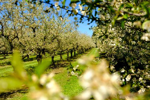 Focus On Background「Germany, Allgaeu, Oberreitnau, Cherry blossom in orchard」:スマホ壁紙(17)