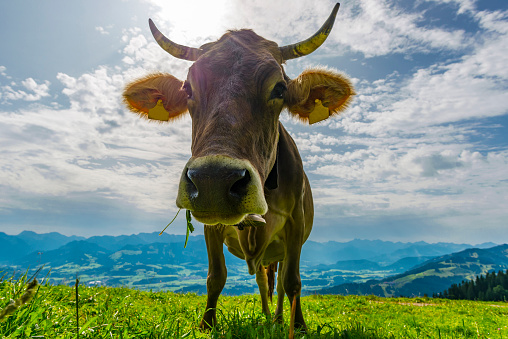 Eating「Germany, Allgaeu, brown cattle standing on an Alpine meadow」:スマホ壁紙(17)