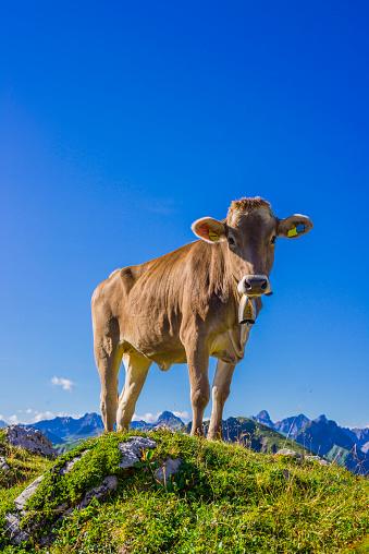 Bell「Germany, Allgaeu, young brown cattle standing on an Alpine meadow near Oberstdorf」:スマホ壁紙(13)