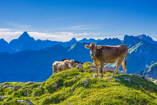 Cow「Germany, Allgaeu, young brown cattle on an Alpine meadow near Oberstdorf」:スマホ壁紙(7)