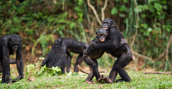Females「Bonobos embracing」:スマホ壁紙(3)