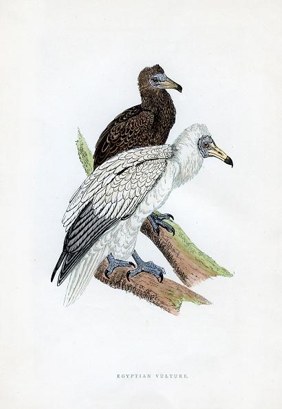 Beak「'Egyptian Vulture', c19th century.」:写真・画像(11)[壁紙.com]