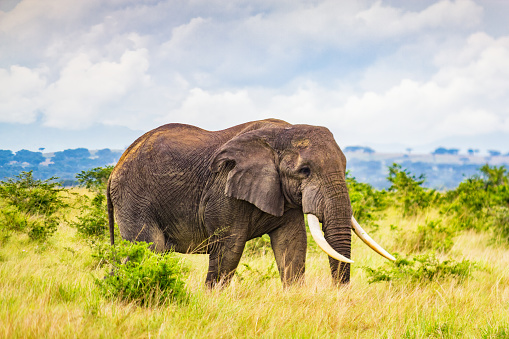 Queen Elizabeth National Park「Elephant at Queen Elizabeth National Park Uganda Africa」:スマホ壁紙(17)